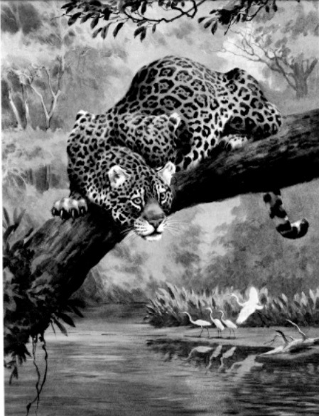 Jaguar. Painting by Walter Weber, National Geographic Society